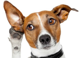 Psi glasni poki